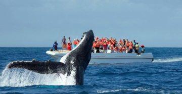 У Домінікані відкрився сезон спостереження за горбатими китами