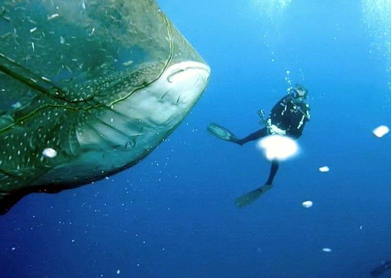 китова акула