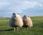 замінили газонокосарки вівцями