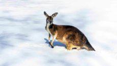 Сніг в Австралії