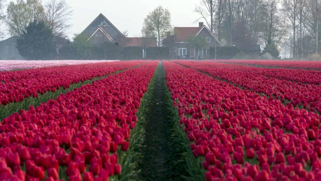 Поля тюльпанів в Нідерландах